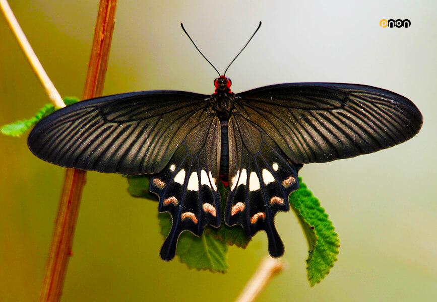 برای بهره بری سلول های خورشیدی از بال های پروانه ها الهام میگیرند
